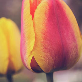 Claudia M Photography - Tulip close up