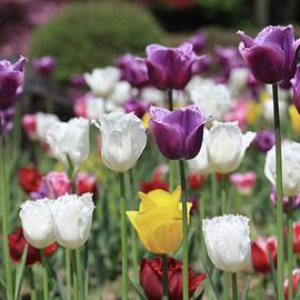 Hyuntae Kim - tulip collection