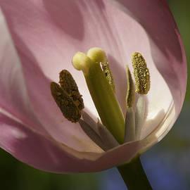 Inge Riis McDonald - Tulip Detail