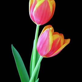 Tulip Duo by Johanna Hurmerinta
