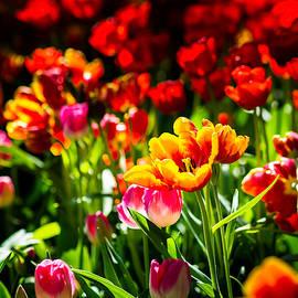 Tulip Flower Beauty by Alexander Senin