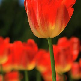 tulip II - Hyuntae Kim
