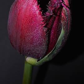 Tulip Model Nr. 2  by Felicia Tica