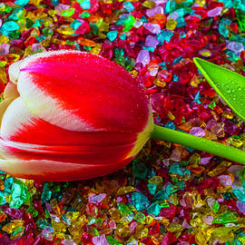 Tulip On Colored Glass - Garry Gay