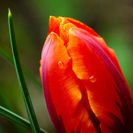 KG  Photography - Tulip Opening