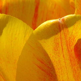 Roxy Riou - Tulip Petals