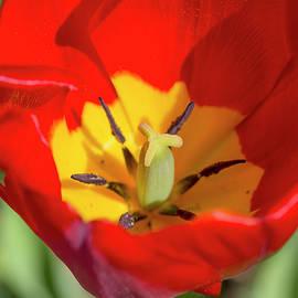 Tulip Up Close by David Stasiak
