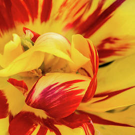 Don Johnson - Tulip with Color