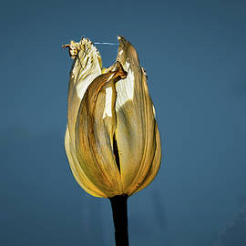 Tulip Yellow On Blue #h6 by Leif Sohlman