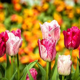 Jijo George - Tulips 12