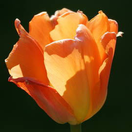 Ira Shander - Tulips by Design