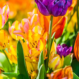 Alexander Senin - Tulips Enchanting 01