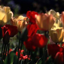 Michael Flood - Tulips In Morning Light
