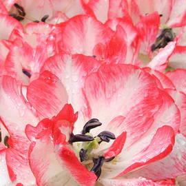 Dora Sofia Caputo Photographic Art and Design - Tulips in Pink and White