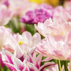 Tulips in pink by Minnetta Heidbrink