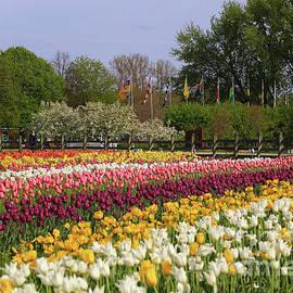 Rachel Cohen - Tulips in Rows