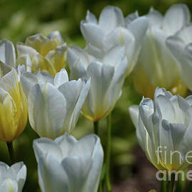 Deb Halloran - Tulips in the Wind