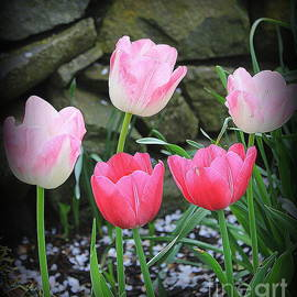 Dora Sofia Caputo Photographic Art and Design - Tulips Lovely in Shades of Pink