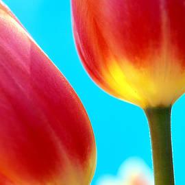 Kathy Yates - Tulips on Blue