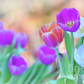 Tulips on Pastel Bokeh by Kaye Menner