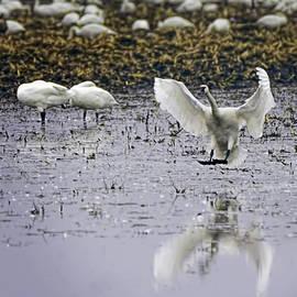 LeeAnn McLaneGoetz McLaneGoetzStudioLLCcom - Tundra Swan has Landed