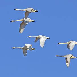 Delmas Lehman - Tundra Swans Flying in a Clear Blue Sky