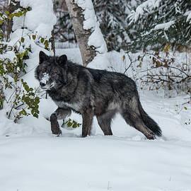 Teresa Wilson - Tundra Wolf 6701