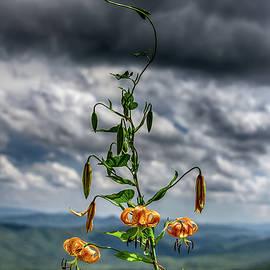 John Haldane - Turks Cap Lily in the Blue Ridge Mountains