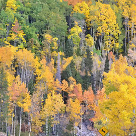 Turning Aspens On The Way To Bear Lake - Rocky Mountain National Park Estespark Colorado by Silvio Ligutti