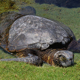 Turtle taking a Nap by Pamela Walton
