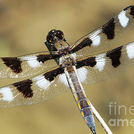 Twelve-spotted Skimmer Dragonfly #2 by Judy Whitton
