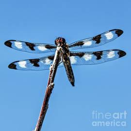 Twelve-Spotted Skimmer by Robert Bales