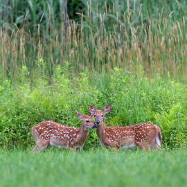 Twin Fawns by Bill Wakeley
