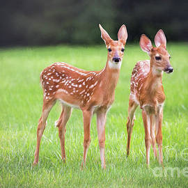 Twin Fawns  by Sharon McConnell