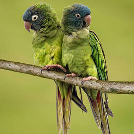 Dawn Currie - Twin Parakeets