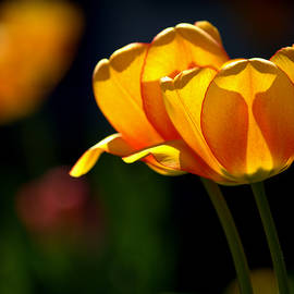 Twin Yellow Tulips by Joan Han