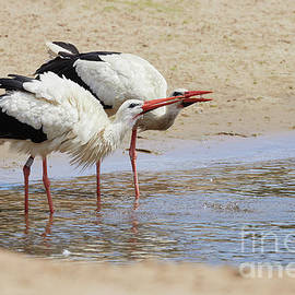 Two Drinking White Storks by Nick Biemans