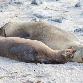 Two Galapagos Sea Lions