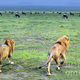 Georgia Evans - Two male lions heading off into the Serengeti to look for dinner on a rainy day in Tanzania, Africa