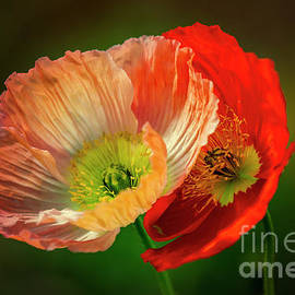 Two Poppies by Heiko Koehrer-Wagner