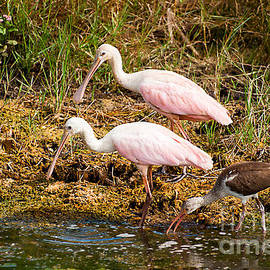 Two Roseatte Spoonbills by Photos By Cassandra