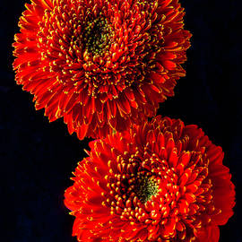 Two Special Gerbera Dasies - Garry Gay