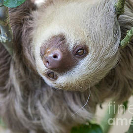 Two toed sloth in a tree by Patricia Hofmeester