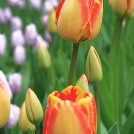 Lali Kacharava - Two tulips