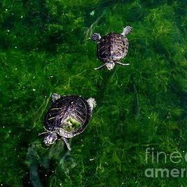 Ed Weidman - Two Turtles