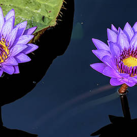 Wes Iversen - Two Water Lilies