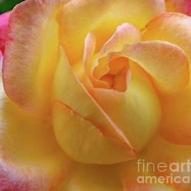 Cindy Treger - Unfolding Beauty - Rose