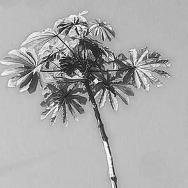 Unusual Tree Black and White by Rosalie Scanlon