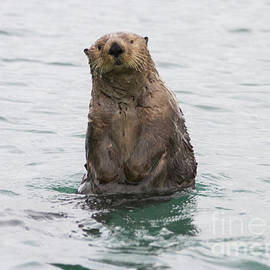 Upright Sea Otter by Chris Scroggins