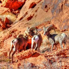 Charlene Cox - Valley of Fire Big Horned  Sheep